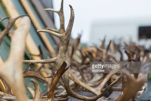 Up close photo of reindeer antlers in Norway
