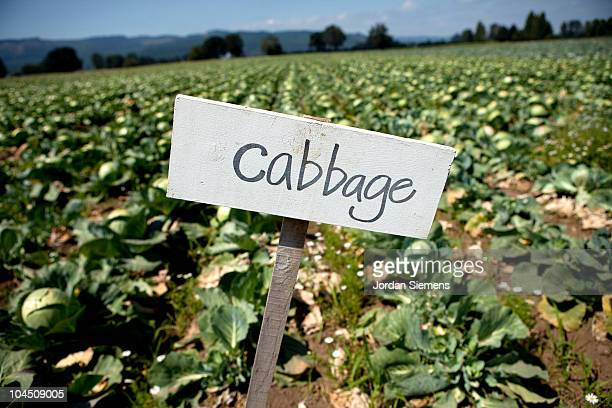 U-pic cabbage at a local farm.