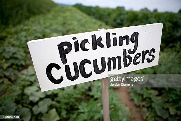U-pic cucumbers at a local farm.