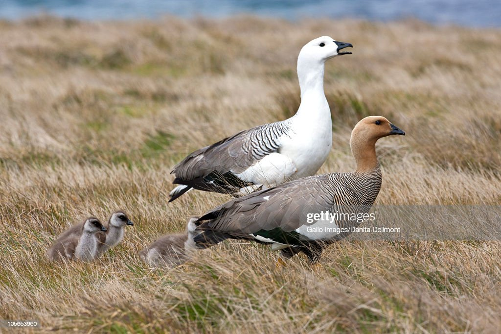 Upland Geese (Chloephaga picta) with chicks on grass, Fakland Islands