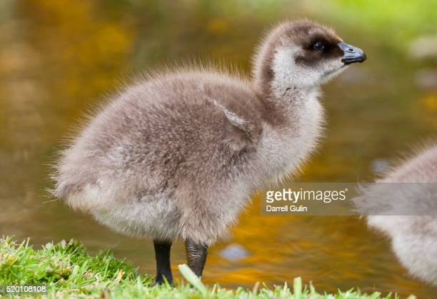 Upland Goose baby at waters edge, Fakland Islands