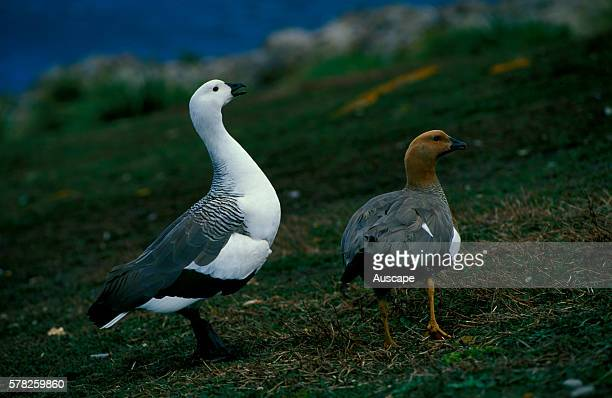 Upland goose Chloephaga picta leucoptera male and female pair the male on the right Falkland Islands South Atlantic