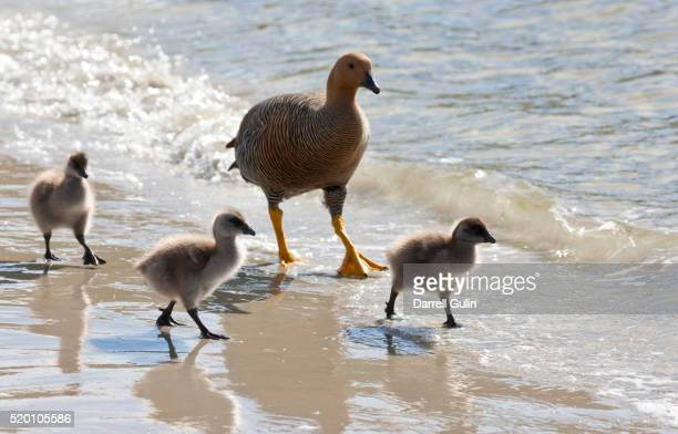 Upland Goose female along waters edge with baby goslings, Fakland Islands
