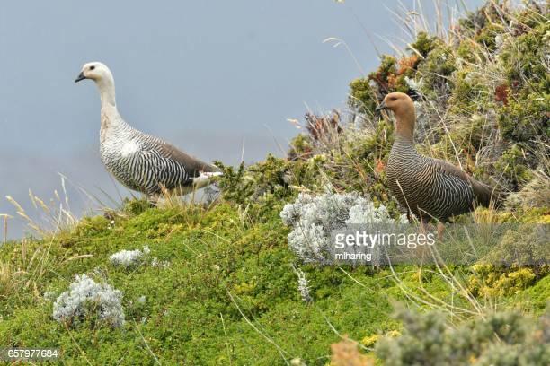 Upland Goose pair