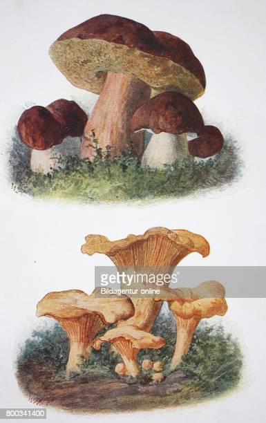 Boletus edulis penny bun cep porcino or porcini Bottom Cantharellus cibarius chanterelle or girolle historical illustration 1880