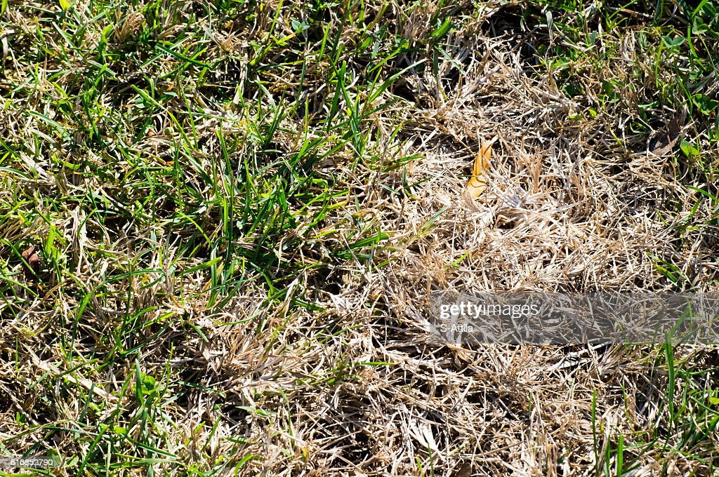 Upper view of green and dried grass : Stock Photo