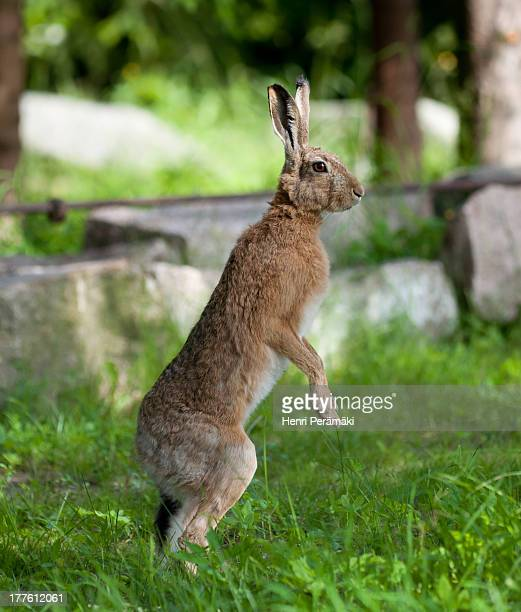 Upright Hare