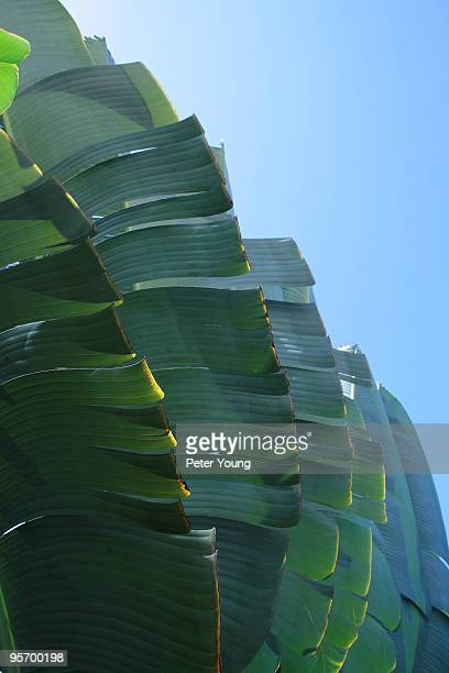 Upright leaves of a banana fan palm tree