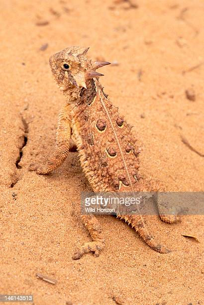 Upright posture of an alert Texas horned lizard Phrynosoma cornutum This species is the official State Reptile of Texas where it is Threatened from...