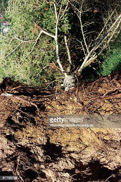 Uprooted tree, high angle view