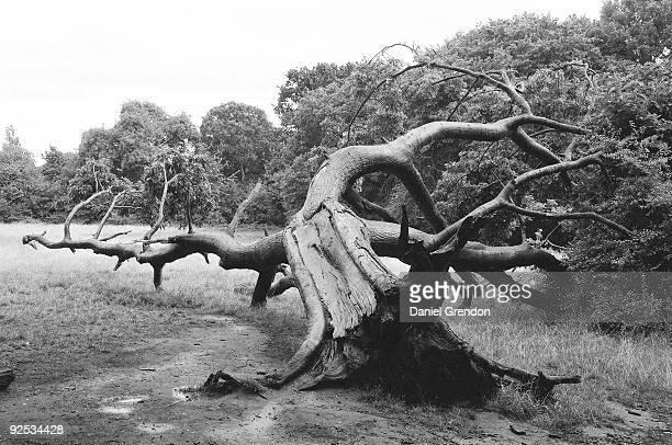 Uprooted tree in Hampstead Heath