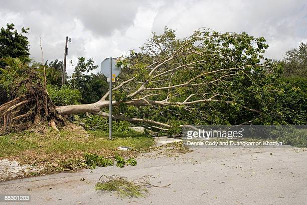 Uprooted tree in road