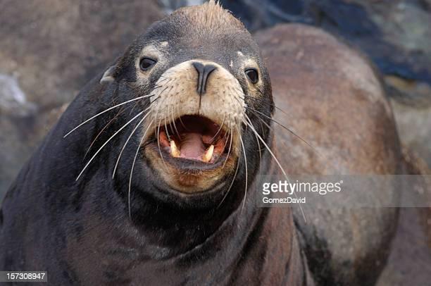 Upset Wild Sea Lion