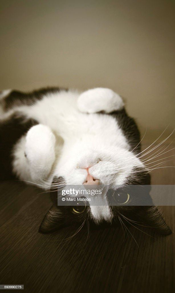 Upside down cat on table : Stock Photo