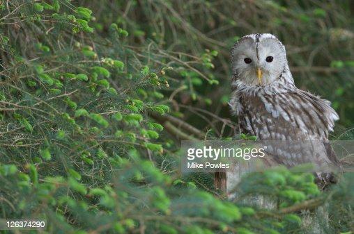 Ural Owl (Strix uralensis ) in tree, UK
