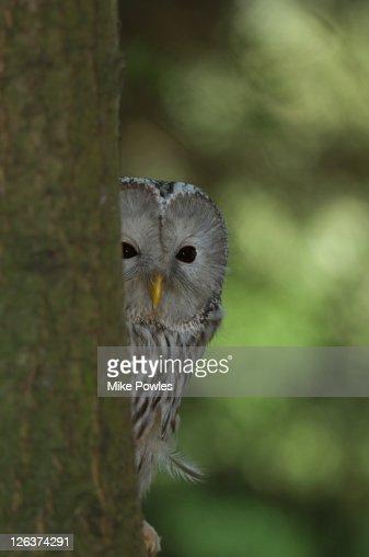 Ural Owl (Strix uralensis ) peeking around tree, UK