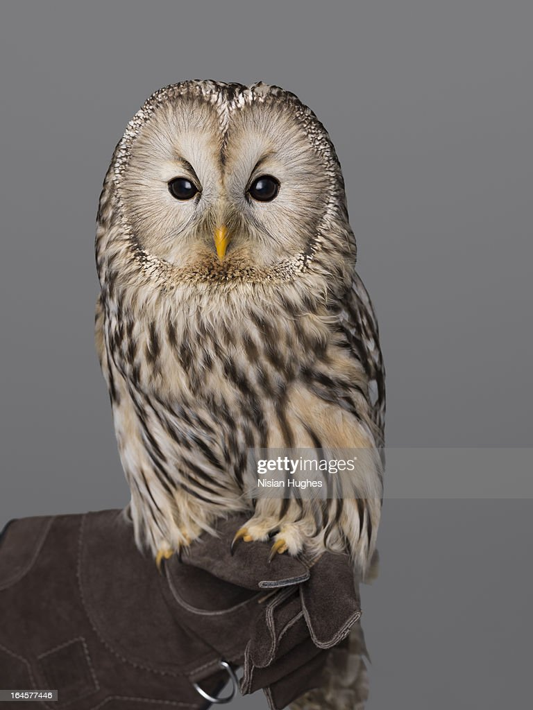 Ural Owl perched on Falconers Glove : Stock Photo