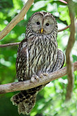 Ural Owl -Strix uralensis-, Neuschoenau outdoor animal enclosure, Bavarian Forest, Bavaria, Germany, Europe
