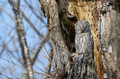 Ural owl -Strix uralensis- perched on an old tree trunk, nesting in the old tree, Kawayu Onsen, Kushiro, Hokkaido, Japan