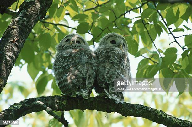 Ural owlets perching on branch