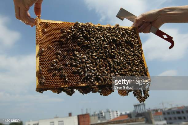 Urban beekeeper Erika Mayr pulls out a honeycomb rack covered with bees to check on the health as well as the honey content of one of her honey bee...