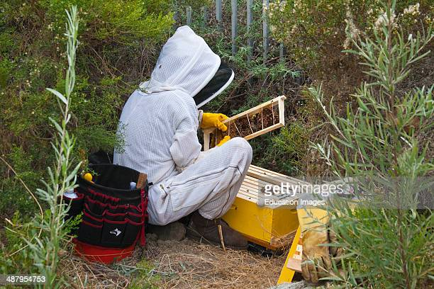 Urban beekeeper removing feral bee hive from bushes near Ballona Creek Los Angeles California