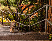 Coyote walking in an urban park