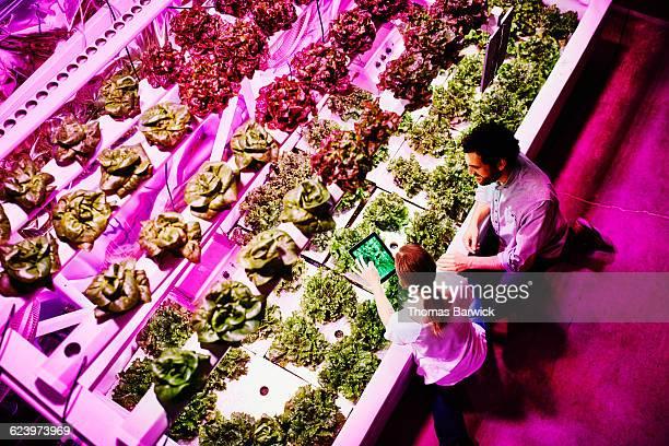 Urban farmers taking photo of lettuce crop