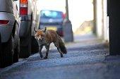 Urban fox in Bristol street