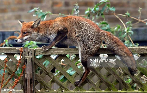 A urban fox prowls along a garden fence in Ealing Dean on February 21 2012 in West London England Foxes are well adapted to urban life and live...