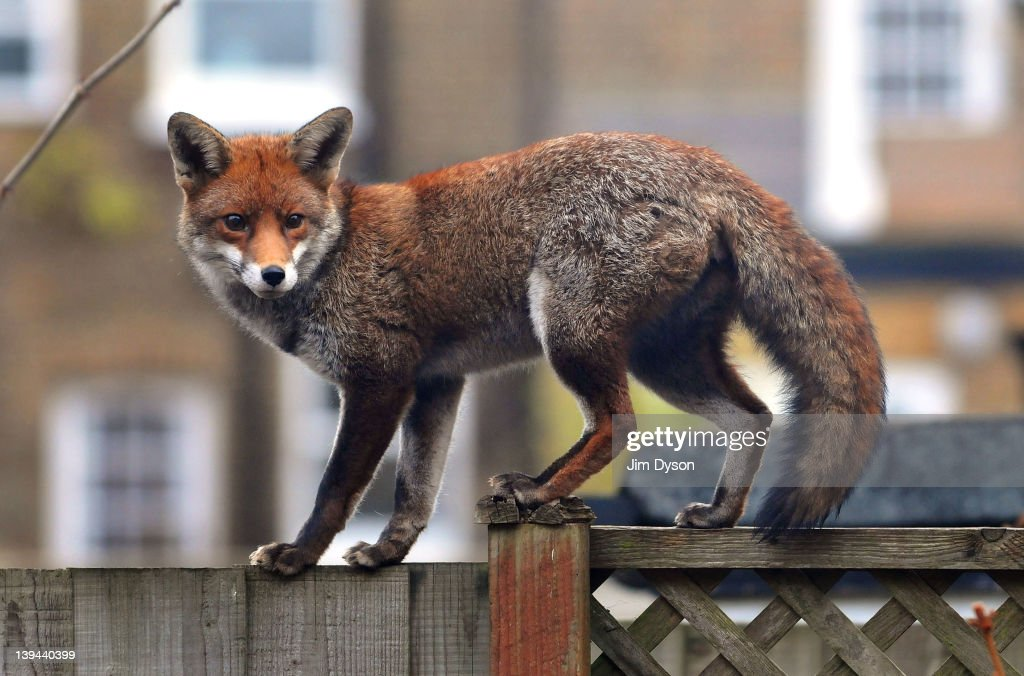 A urban fox prowls along a garden fence in Ealing Dean on February 21, 2012 in West London, England. Foxes are well adapted to urban life and live successfully side by side with people in towns and cities, numbering more than 10,000 in London alone. Councils don't consider such wild animals to be pests as they do not pose a direct threat to public health.