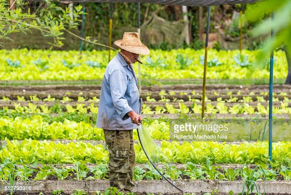 Urban garden Old Hispanic farmer watering his lettuce plantation on a hot and sunny day while wearing a refreshing clothing like cargo pants open...