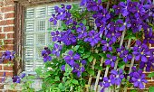 Purple climbing clematis plant in bloom on trellis growing against brick wall with window sustainable gardening and beauty in nature city life photography background