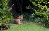 Urban male fox lies confidently in London town garden Hampstead London England