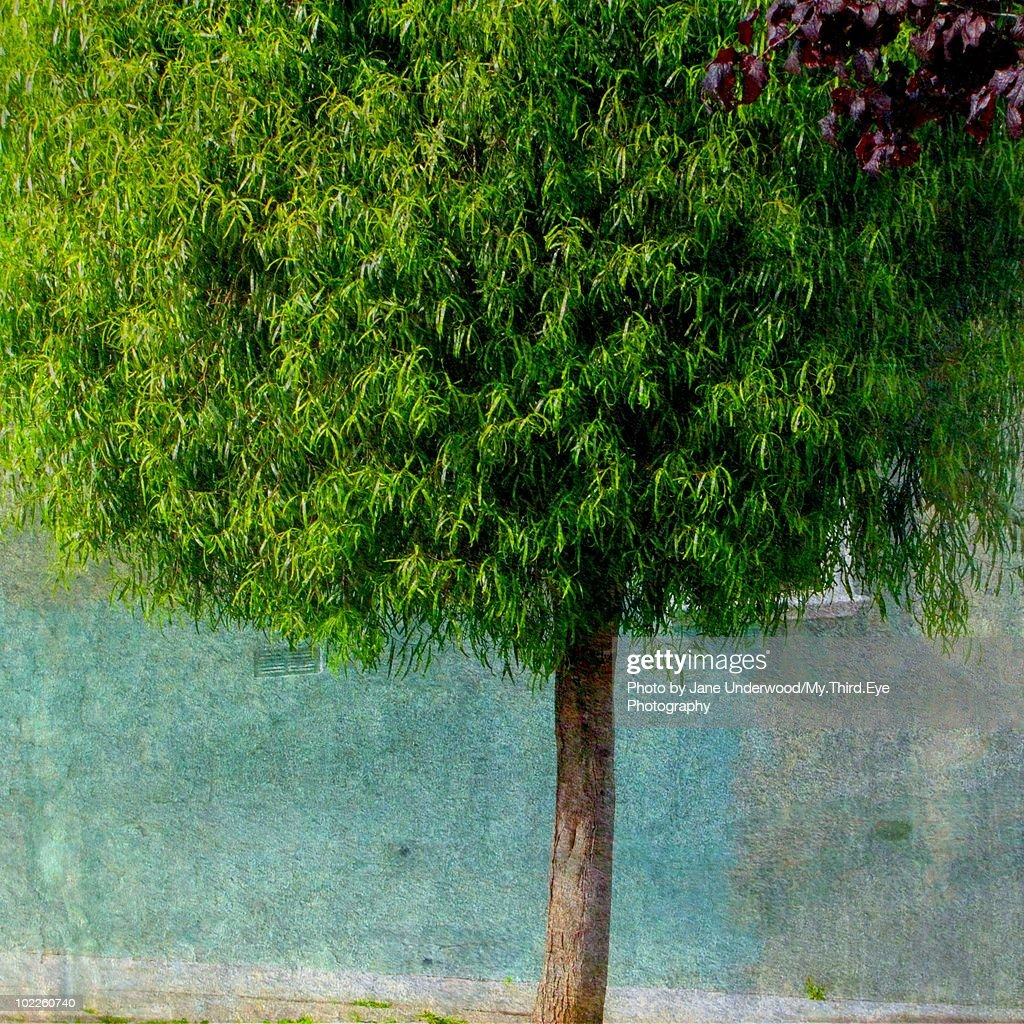Urban nature mayten tree stock photo getty images for Urban nature