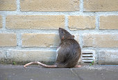 A rat  against a brick wall, looking and standing up. The picture shows a real rat, not a mouse, like most pictures do.