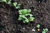 Kitchen garden / Turnip cultivation