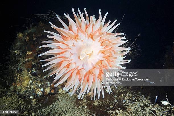 Urticina eques sea anemone