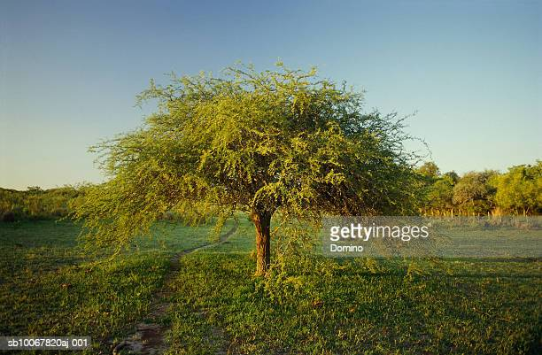 Uruguay, Colonia, Carob tree in countryside (Ceratonia siliqua)