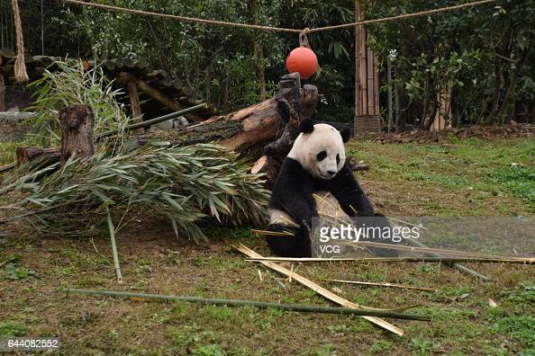 USborn giant panda Bao Bao eats bamboo at its new home in Dujiangyan on February 23 2017 in Chengdu Sichuan Province of China 3yearold USborn female...