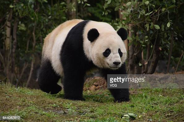 USborn giant panda Bao Bao walks at its new home in Dujiangyan on February 23 2017 in Chengdu Sichuan Province of China 3yearold USborn female giant...