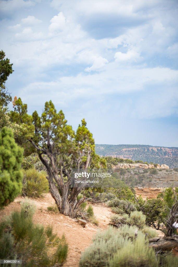 Utah Juniper in the mountains : Stock Photo