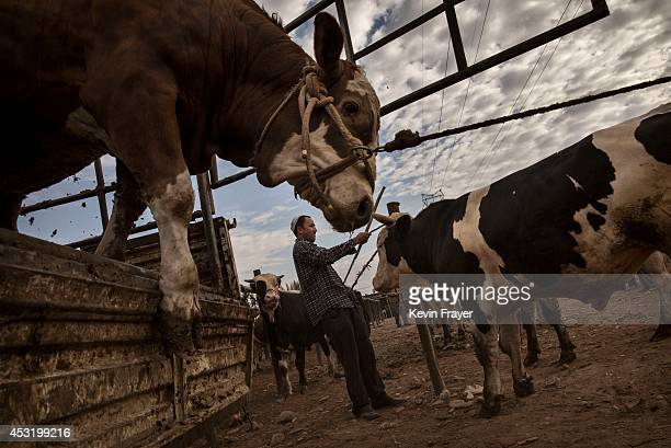 Uyghur farmer unloads cattle from a truck at a livestock market on August 3 2014 in Kashgar Xinjiang Uyghur Autonomous Region China Nearly 100 people...