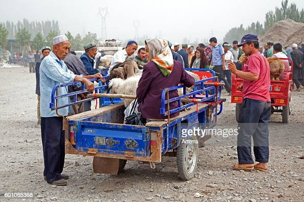 Uyghur farmers with motorized carts loaded with sheep arriving at the cattle market in Kashgar / Kashi Xinjiang China