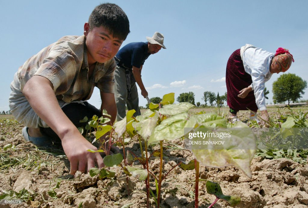 Uzbek familyfarmers weed their beds of cotton at their field outside the capital of Uzbekistan Tashkent 20 May 2005 Much discontent with Uzbekistan's...