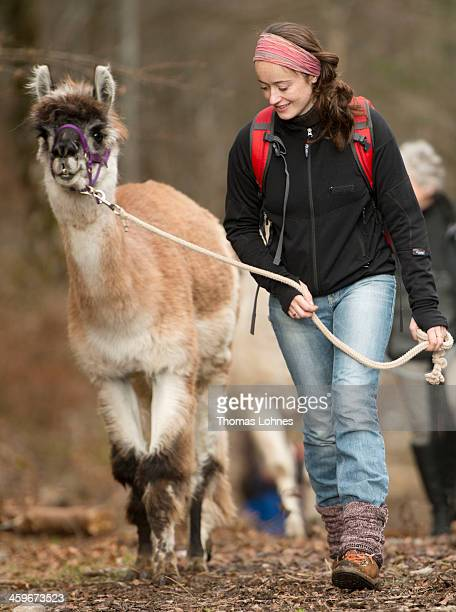 Vacationers walk along a mountain range leading a group of Lamas in the Bavarian Alps on December 28 2013 near Oberstdorf Germany Lama trekking...