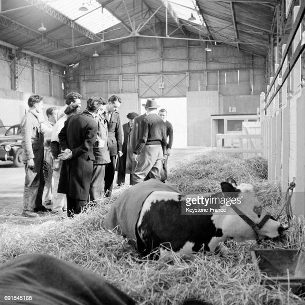 Vache couchée sur le foin au Salon de l'agriculture à Paris France en 1952