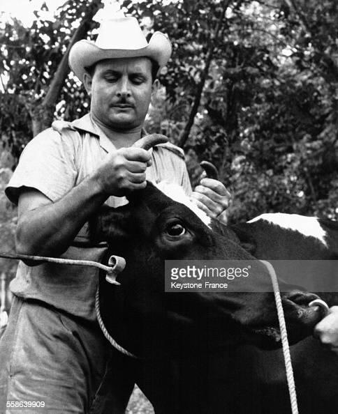 Vache se faisant marquer au fer sur la tête pour ne pas abimer la peau à Cuba circa 1960