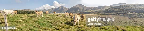 Vaches au massif du sancy