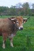 vaches de race Aubrac, dans leur pré en auvergne, portraits
